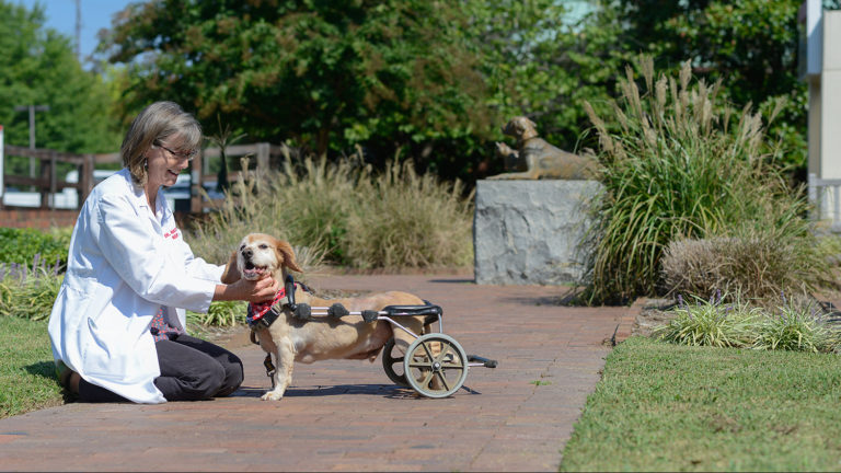 Faculty member from the College of Veterinary Medicine fits a dog with a wheelchair device.
