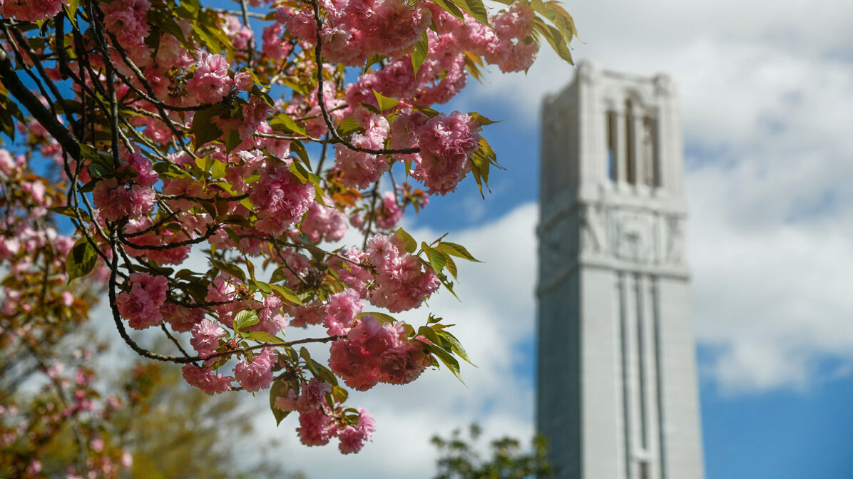 NC State Belltower and Kwanzan cherry tree