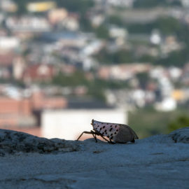 spotted lanternfly with town in background